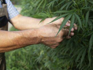coltivare la canapa